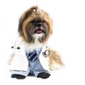 Dog as a doctor shih tzu dressed wears stethoscope Royalty Free Stock Photography