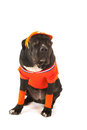 Dog as dutch soccer supporter with flags and orange sweater sports cap isolated over white background Royalty Free Stock Images