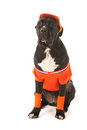 Dog as dutch soccer supporter with flags and orange sweater sports fan isolated over white background Stock Photos