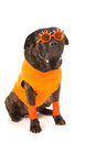 Dog as dutch soccer supporter with flags and orange sweater sports fan isolated over white background Royalty Free Stock Photo