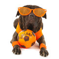 Dog as dutch soccer supporter with flags and orange sweater sports fan isolated over white background Stock Photography