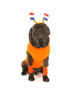 Dog as dutch soccer supporter with flags and orange sweater sports fan isolated over white background Stock Image