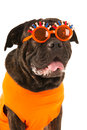 Dog as dutch soccer supporter with flags and orange sweater sports fan isolated over white background Stock Photo