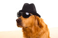 Dog as mafia gangster with black hat and sunglasses Royalty Free Stock Photo