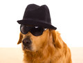 Dog as mafia gangster with black hat and sunglasses Royalty Free Stock Images