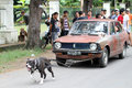 Dog attraction pitbul pull a car carrying six people when in solo Royalty Free Stock Photos