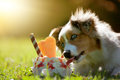 Dog, Australian Shepherd licking on an ice cream Royalty Free Stock Photo