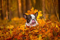 Dog in autumnal scenery portrait of french bulldog Royalty Free Stock Images