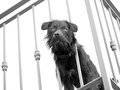 Dog on the balcony black and white pet home alone watching world go by Stock Photography