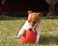Dog with ball happy playing red Stock Photography