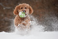Dog with a ball in his mouth playing in the snow Stock Photos
