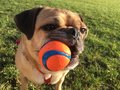 Dog with ball in mouth