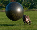 Dog with ball olde english bulldog male a large gymnastic Stock Images