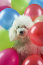 Dog with balloons Royalty Free Stock Photo