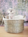 Dog in basket portrait of yorkshire terrier a Stock Image