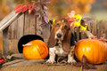 Dog basset hound and pumpkin against the background of autumn leaves Stock Images