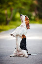 Dog basset hound sitting on his hind legs Royalty Free Stock Images