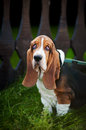 Dog Basset hound sitting and looks at the camera Royalty Free Stock Photography