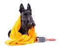 Dog after bath scotch terrier in yellow towel sitting on a white background Royalty Free Stock Photos