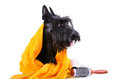 Dog after bath scotch terrier in yellow towel sitting on a white background Royalty Free Stock Images