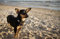 Dog on the beach black and brown colours Royalty Free Stock Photo