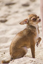 Dog on the the beach (chihuahua) Stock Photography