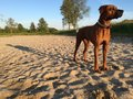 Dog on beach long shadow elmo rhodesian ridgeback the with trees in the background standing in de sand late in the day Royalty Free Stock Photo
