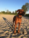 Dog on beach long shadow elmo rhodesian ridgeback the with trees in the background standing in de sand late in the day Stock Images
