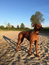 Dog on beach long shadow elmo rhodesian ridgeback the with trees in the background standing in de sand late in the day Royalty Free Stock Images