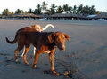 Dog on beach, Mexico Royalty Free Stock Photos