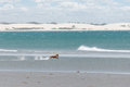 Dog at the beach running jericoacoara brazil Stock Photos
