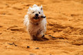 Dog on beach with stick a west highland terrior is running at speed along a golden sand a in its mouth Stock Photo