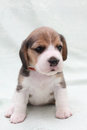 Dog beagle Royalty Free Stock Photos