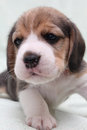 Dog beagle Stock Images