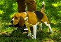 Dog beagle. Beagle puppy sitting on green grass