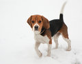 Dog beagle breed hounds ñ ð ð ð ð ð'ð ð ð ð have a good scent and are used primarily for hunting rabbits and hares Royalty Free Stock Photography