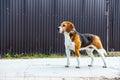 Dog beagle stands sideways