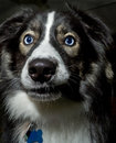 Dog with beautiful blue eyes a husky mixed breed very Stock Images