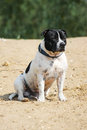 Dog a beautiful young sitting on a beach Royalty Free Stock Image