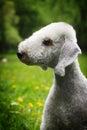 Dog Bedlington Terrier Summer ...