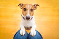 Dog begging on lap jack russell ready for a walk with owner or hungry inside their home Stock Photography