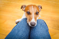 Dog begging on lap Royalty Free Stock Photo
