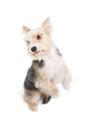 Dog begging pardon isolated on white background Royalty Free Stock Images