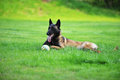Dog belgian malinois lies on grass Royalty Free Stock Photos