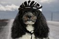 Dog with bicycle helmet Royalty Free Stock Photo