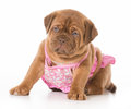 Dog in bikini wearing dogue de bordeaux wearing swimsuit isolated on white background weeks old Royalty Free Stock Images