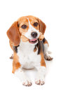 Dog with biscuit Royalty Free Stock Images