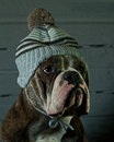 Dog in a blue baby hat olde english bulldog Royalty Free Stock Images