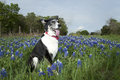Dog in bluebonnets black and white sitting texas Royalty Free Stock Photography