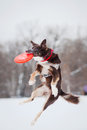 Dog border collie jumping catching flying disc mid air Stock Photos